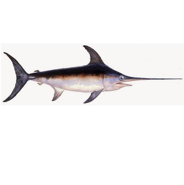 pez-espada