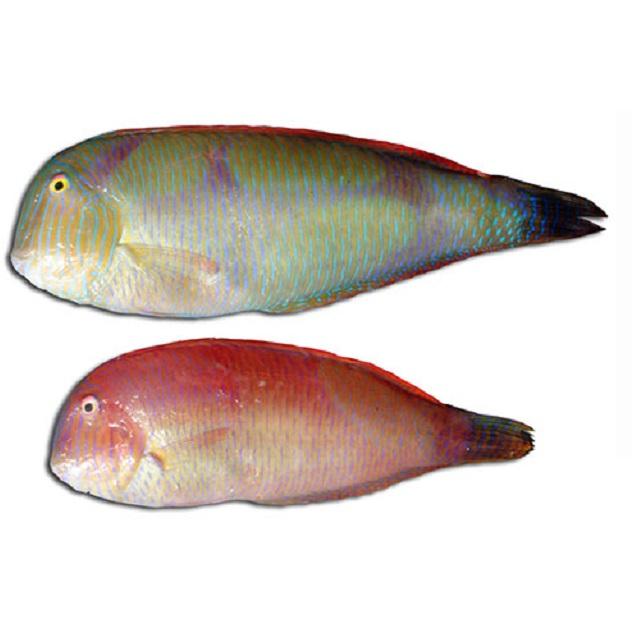 pescado_lorito