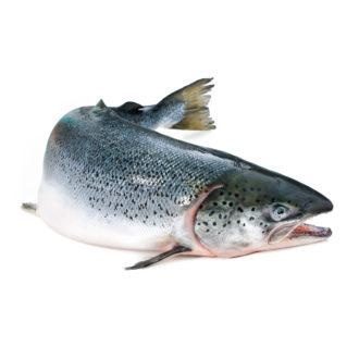 salmón-noruego