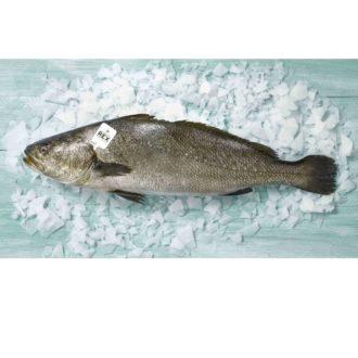 CORVINA-REX-pescadoacasa