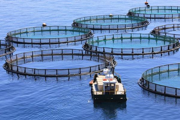 Pescados criados en una granjas