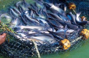 Diferencia entre el pescado salvaje y el de granjas