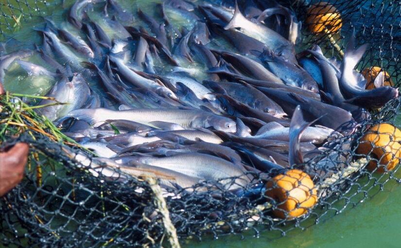 Diferencia entre el pescado salvaje y el de granjas (piscifactoría-acuicultura)
