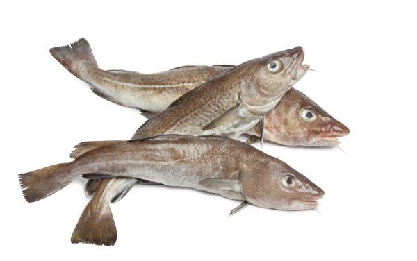 El bacalao una especie vulnerable