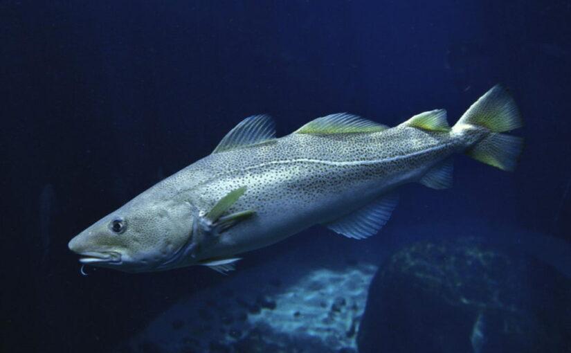 El bacalao en plena temporada invernal
